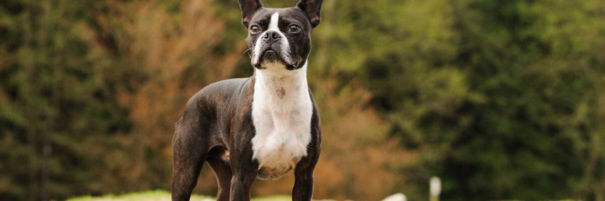 Boston Terriers 101